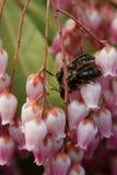 Acoplamiento de las abejas Foto de archivo