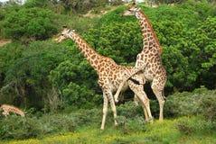 Acoplamiento de las jirafas Fotos de archivo
