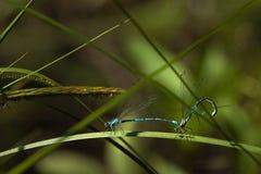 Acoplamiento de las libélulas Fotos de archivo libres de regalías