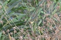 Acoplamiento de las libélulas imagenes de archivo
