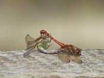 Acoplamiento de las libélulas Fotografía de archivo