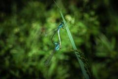 Acoplamiento de las libélulas Fotografía de archivo libre de regalías