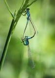 Acoplamiento de las libélulas Fotos de archivo
