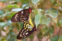 Acoplamiento de las mariposas del priamus de Ornithoptera Imagen de archivo