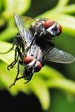 Acoplamiento de las moscas Foto de archivo libre de regalías
