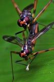 Acoplamiento de las moscas Fotos de archivo