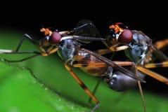 Acoplamiento de las moscas Imagen de archivo libre de regalías