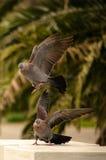 Acoplamiento de las palomas de luto Fotografía de archivo libre de regalías