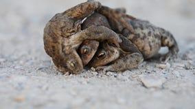 Acoplamiento de las ranas Rana en un camino, fondo marr?n almacen de metraje de vídeo