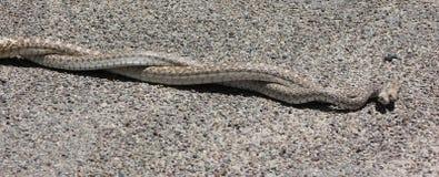 Acoplamiento de las serpientes de Gopher Fotografía de archivo