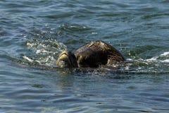 Acoplamiento de las tortugas de mar Fotografía de archivo