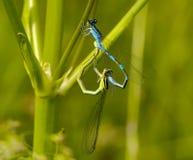 Acoplamiento de libélulas Imagenes de archivo