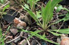 Acoplamiento de los caracoles de jardín imagen de archivo