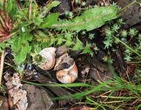 Acoplamiento de los caracoles de jardín fotografía de archivo