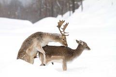 Acoplamiento de los ciervos en barbecho Fotos de archivo