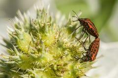 Acoplamiento de los coleopterons del italicum de Graphosoma Imagenes de archivo