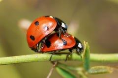 Acoplamiento de los escarabajos de mariquita Fotografía de archivo
