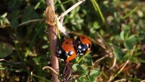 Acoplamiento de los escarabajos de mariquita metrajes