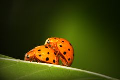 Acoplamiento de los Ladybugs Foto de archivo libre de regalías