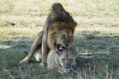 Acoplamiento de los leones Foto de archivo libre de regalías