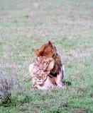 Acoplamiento de los leones Imagenes de archivo