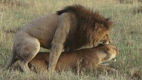 Acoplamiento de los leones almacen de video