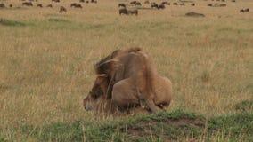 Acoplamiento de los leones almacen de metraje de vídeo