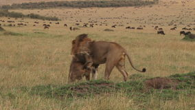 Acoplamiento de los leones metrajes