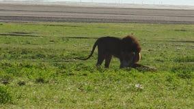 Acoplamiento de los pares del león almacen de metraje de vídeo