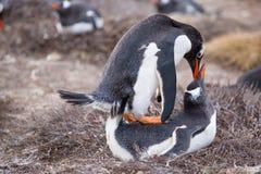 Acoplamiento de los pingüinos de Gentoo (Pygoscelis Papua) Foto de archivo libre de regalías