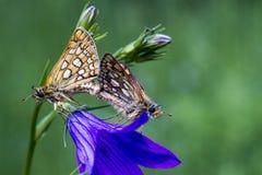 Acoplamiento de mariposas en una flor imagenes de archivo