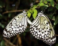 Acoplamiento de Pipevine Swallowtails Imagen de archivo libre de regalías
