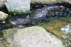 Acoplamiento del cocodrilo de Caiman Imagen de archivo