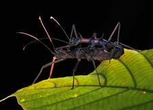 Acoplamiento del insecto de palillo Imágenes de archivo libres de regalías