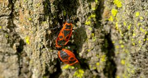Acoplamiento del insecto del escudo (Graphosoma Lineatum) almacen de video