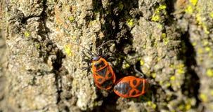 Acoplamiento del insecto del escudo (Graphosoma Lineatum) metrajes