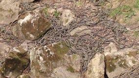 Acoplamiento echado a un lado rojo de las serpientes de liga metrajes