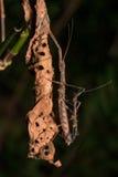 Acoplamiento espinoso del insecto de palillo de Hong Kong Fotografía de archivo libre de regalías