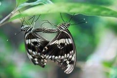 Acoplamiento hermoso de la mariposa imagen de archivo