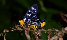 Acoplamiento hermoso de las polillas Imagen de archivo libre de regalías