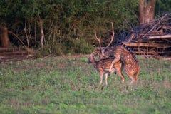 Acoplamiento manchado de los ciervos Fotos de archivo libres de regalías