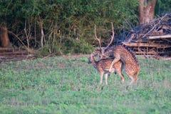 Acoplamiento manchado de los ciervos Foto de archivo