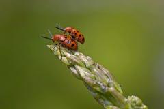 Acoplamiento manchado rojo de los escarabajos del espárrago foto de archivo