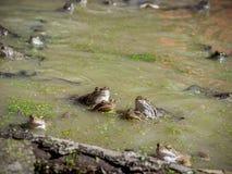 Acoplamiento marrón común de las ranas Foto de archivo