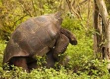 Acoplamiento salvaje de las tortugas fotos de archivo