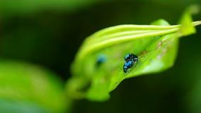 Acoplamiento vegetal de los escarabajos de pulga almacen de video