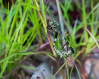 Acoplamiento verde y negro de las libélulas Imágenes de archivo libres de regalías