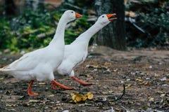 Acople dos gansos dos patos que andam no parque fotografia de stock royalty free