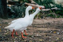 Acople dos gansos dos patos que andam no parque fotografia de stock