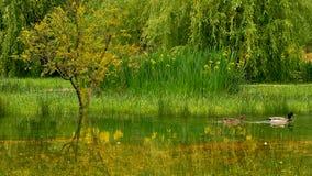 Acople dos patos no jardim em Morinj, baía de Kotor, Montenegro imagens de stock